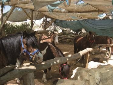 אלופי הסוס, אורוות תקוע, חוות סוסים, תקוע