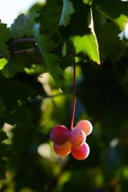 Шарон из Шомрона,   «Гат-Шомрон» («Винодавильня Самарии»), элитная винодельня, Карней-Шомрон
